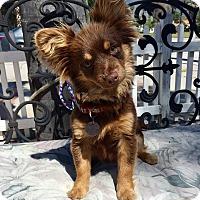 Adopt A Pet :: Pauli (BH) - Santa Ana, CA