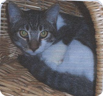 Domestic Shorthair Cat for adoption in El Cajon, California - Sparkler