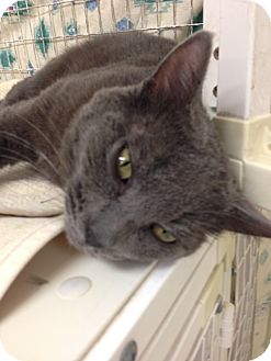 Russian Blue Cat for adoption in Fountain Hills, Arizona - THOR