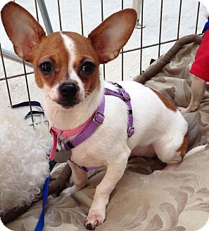 Chihuahua Mix Puppy for adoption in San Diego, California - Jemma