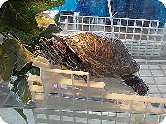 Turtle - Water for adoption in Baltimore, Maryland - Berlin Slider