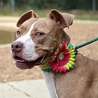 American Staffordshire Terrier Mix Dog for adoption in Jackson, Mississippi - Brandie
