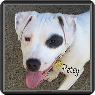 American Bulldog Mix Dog for adoption in Warren, Michigan - Petey -Special Needs!