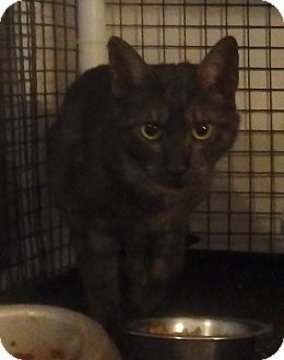 Domestic Shorthair Cat for adoption in Speedway, Indiana - Bandit