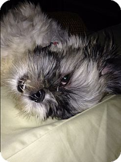 Shih Tzu Dog for adoption in Westport, Connecticut - Princess