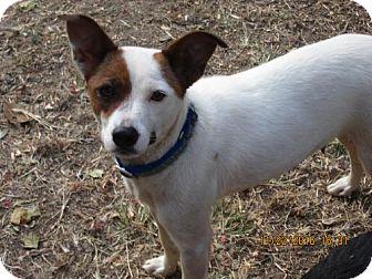 Jack Russell Terrier/Feist Mix Dog for adoption in Williston Park, New York - SASSIE