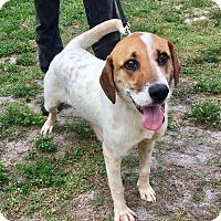 Adopt A Pet :: Pedro - Boca Raton, FL
