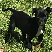 Adopt A Pet :: Oliver - Charlotte, NC