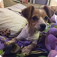 Adopt A Pet :: PJ - Snyder, TX