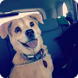 Beagle/Shar Pei Mix Dog for adoption in Scottsdale, Arizona - Maddie