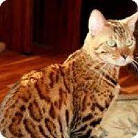 Adopt A Pet :: Midas - Arlington, VA