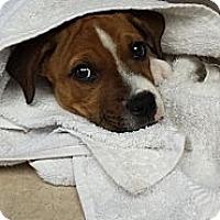 Adopt A Pet :: Shiloh - Orlando, FL