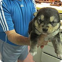 Adopt A Pet :: Trooper - Largo, FL