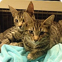 Domestic Shorthair Cat for adoption in Los Angeles, California - Sam and Sylvie