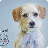 Adopt A Pet :: Jewel - Phoenix, AZ