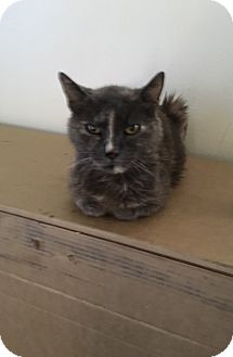 Calico Cat for adoption in Palm Springs, California - Lady Di