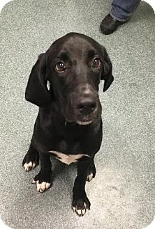 Hound (Unknown Type)/Labrador Retriever Mix Dog for adoption in Clearwater, Florida - Pickles
