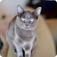 Russian Blue Cat for adoption in Los Angeles, California - Sasha