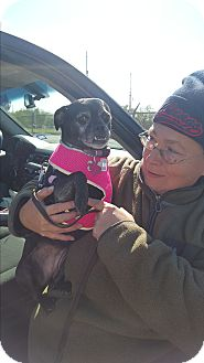 Pug/Chihuahua Mix Dog for adoption in Brownsville, Texas - Kiwi