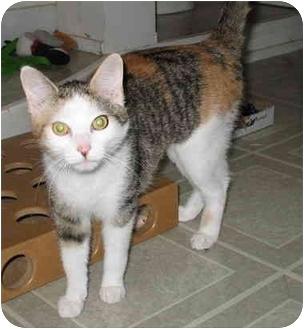 Domestic Shorthair Cat for adoption in Cincinnati, Ohio - Dixie
