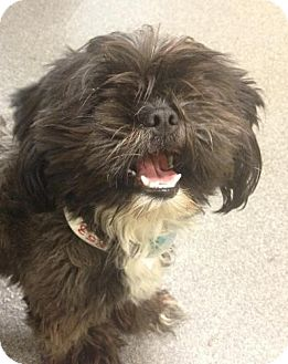 Shih Tzu Puppy for adoption in Lancaster, Ohio - Oscar