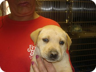 Labrador Retriever Mix Puppy for adoption in Greencastle, North Carolina - Curly
