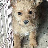 Adopt A Pet :: Scruffy Puppy Brown - Fowler, CA