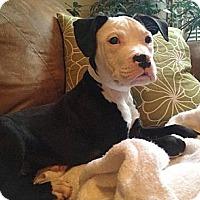 Adopt A Pet :: Opie - Reisterstown, MD