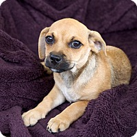 Adopt A Pet :: Beau - Homewood, AL