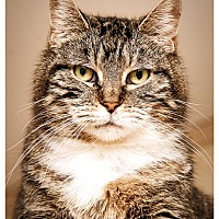 American Shorthair Cat for adoption in Middletown, New York - Betty