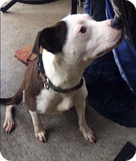 American Pit Bull Terrier Mix Dog for adoption in Houston, Texas - Iris