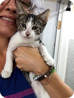 Domestic Shorthair Cat for adoption in Covington, Kentucky - Pidgey