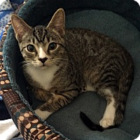 Domestic Shorthair Kitten for adoption in Monroe, North Carolina - Peter