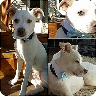 Terrier (Unknown Type, Medium) Mix Puppy for adoption in Aurora, Ohio - Boone