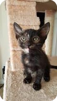 Domestic Shorthair Kitten for adoption in Mission Viejo, California - Diamond