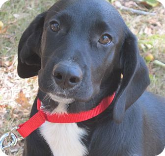 Labrador Retriever/Beagle Mix Puppy for adoption in Foster, Rhode Island - Astro- reduced for Christmas!