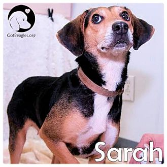 Beagle Dog for adoption in Chicago, Illinois - Sarah