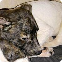 Adopt A Pet :: Tamone - Westminster, CO