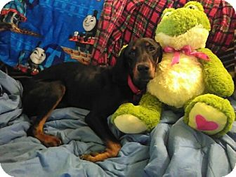 Black and Tan Coonhound/Coonhound Mix Dog for adoption in Avon, Ohio - Paulette