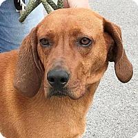 Adopt A Pet :: Gummy Bear - Westminster, MD