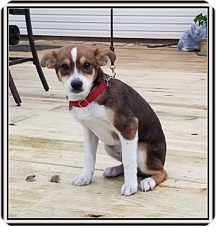 Sheltie, Shetland Sheepdog/Papillon Mix Puppy for adoption in Milford, New Jersey - Mopar