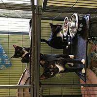 Adopt A Pet :: Ollie - Crestview, FL