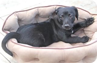 Terrier (Unknown Type, Small)/Australian Shepherd Mix Puppy for adoption in Norwalk, Connecticut - Elliot - adoption pending