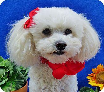 Poodle (Miniature) Dog for adoption in Irvine, California - Tiffi