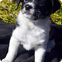 Adopt A Pet :: Zircon - Bridgeton, MO