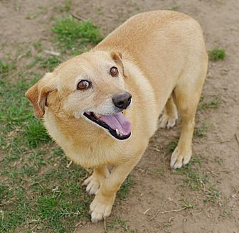 Corgi/Dachshund Mix Dog for adoption in Iola, Texas - Shorty