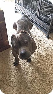 American Pit Bull Terrier Mix Dog for adoption in Lincoln, California - Lola-ADOPTION FEE SPONSORED!