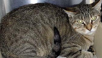 Domestic Shorthair Cat for adoption in Washburn, Missouri - Catamaran