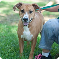 Boxer Mix Dog for adoption in New Martinsville, West Virginia - Duke