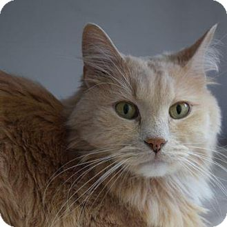 Domestic Longhair Cat for adoption in Denver, Colorado - Mango